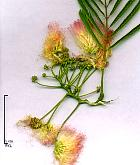 Albizia, Acacia rose de Constantinople, photos
