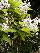 Catalpa, photos