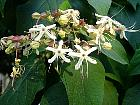 Clerodendron, photos